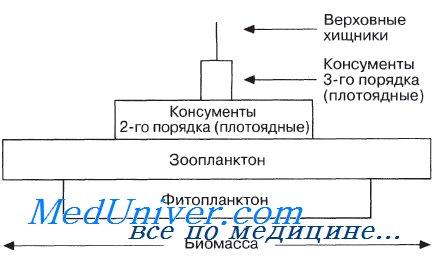Пирамиды биомассы. характеристика пирамид биомассы.